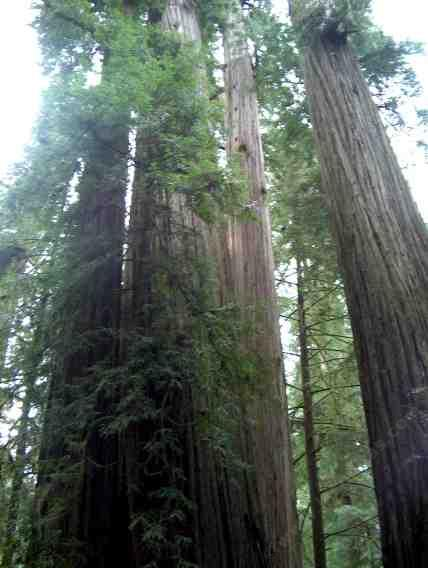 pictures of the california coast redwood forest plant