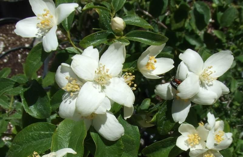 The fragrant garden a word on the fragrance of california native philadelphus lewisii wild mock orange flowers are fragrant grid2412 mightylinksfo