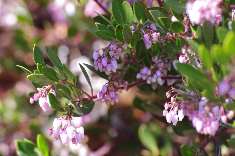 Harmony Manzanita Is A Selection Of The Arctostaphylos Densiflora This Truly California Native