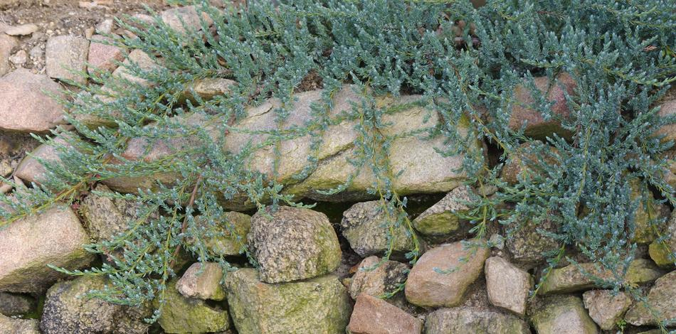 california native plant ground cover plants., Natural flower