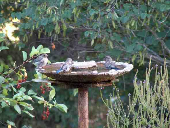 Western Blue Birds At A Birdbath. This Bird Bath Is Made Out Of Cement And