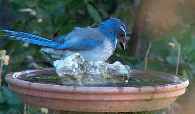 Scrub Jay At Bird Bath, As Looking At Self   Grid24_12