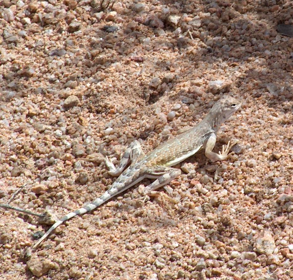 reptiles and amphibians in california