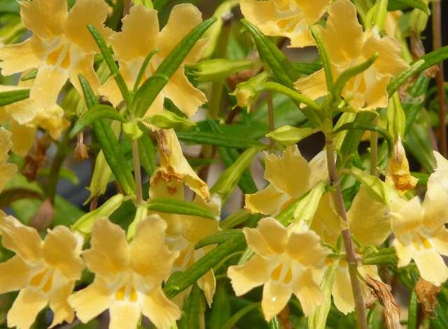 Drought tolerant plants for a vista or san marcos area garden most years this monkey flower is a paler creamier butter yellow grid246 mightylinksfo