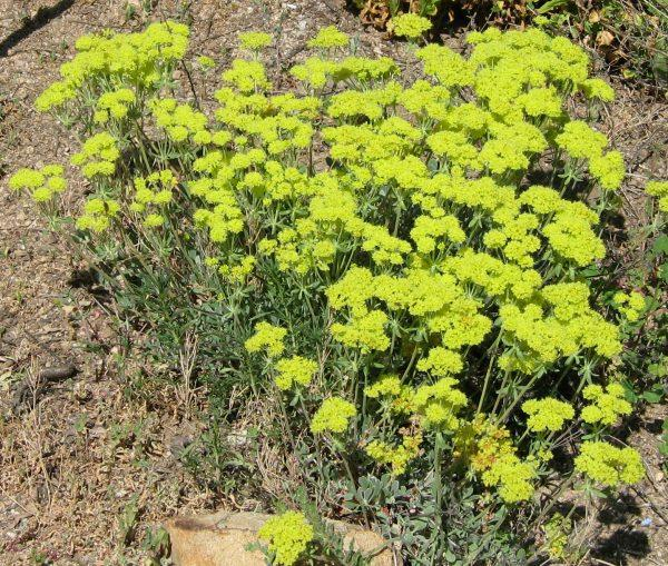 Eriogonum Umbellatum Sulfur Flower Makes A Small Ground Cover At The Santa Margarita Nursery