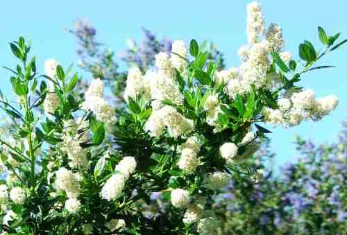 Southern california lilacs ceanothus spp ceanothus snoflurry is a white flower mountain lilac grid2412 mightylinksfo