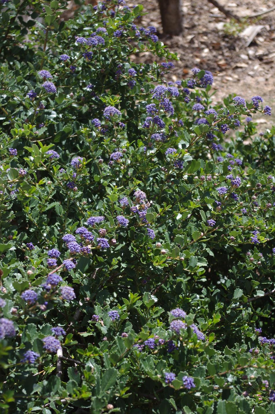 Ceanothus gloriosus hearts desire mountain lilac ceanothus gloriosus hearts desire makes a great small mounding groundcover excellent as a sidewalk border izmirmasajfo