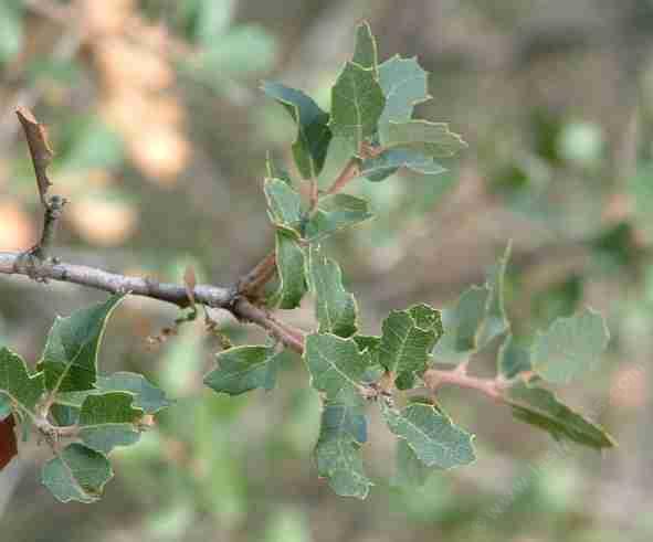 California Oaks I - Quercus agrifolia(Coast Live Oak) and