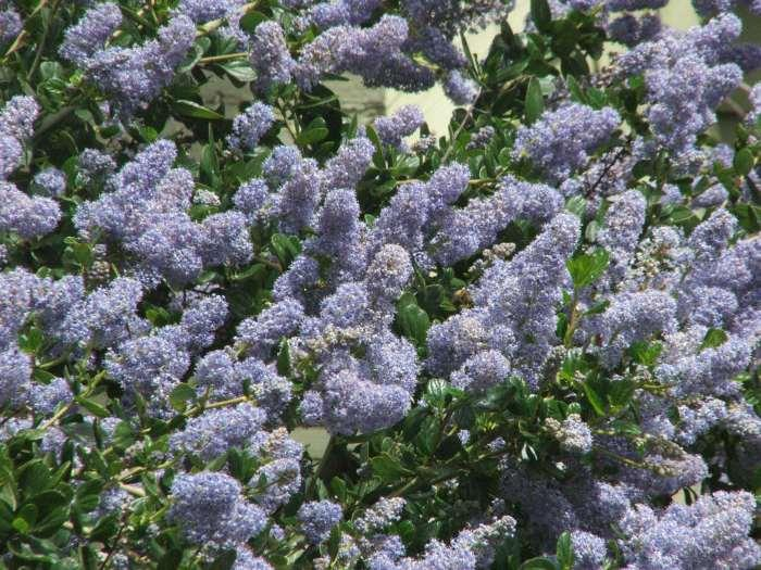 Remote Blue Ceanothus Has Sky Flowers Yes The Looks Like That