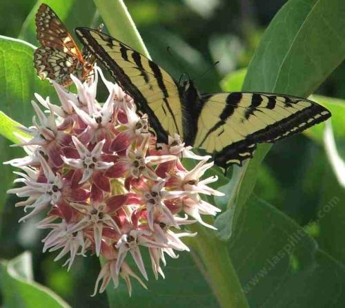 Asclepias Speciosa, Showy Milkweed With Checkerspot And A Tiger Swallowtail  Butterfly   Grid24_12