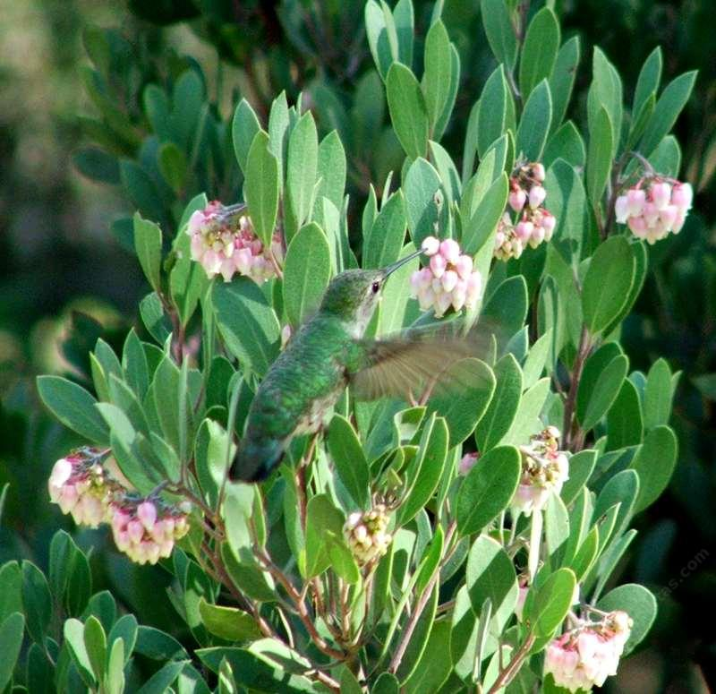 Mexican Manzanita With An Anna S Hummingbird Visiting The Flowers Is Drought Tolerant In