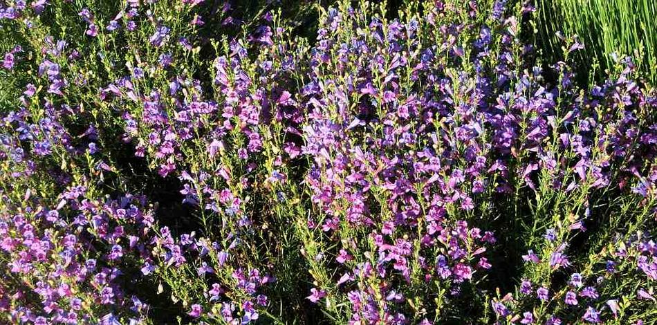 Native Plants That Will Grow In Hot (normal Day 95F Or More In Summer) Full  Sun, Inner Los Angeles, San Joaquin Valley, Full Reflected Sun Elsewhere,  ...
