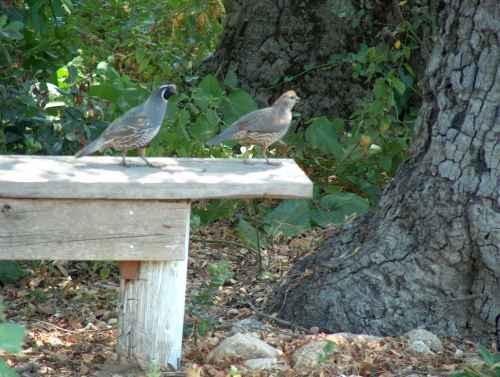 Male And Female Quail On Garden Bench. Something A Simple As A Raised Seat  Or