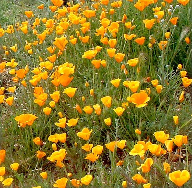 Eschscholzia californica california poppy for Southern california native plants