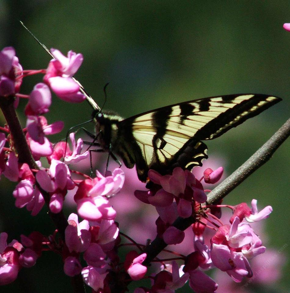 Charmant Pale Swallowtail On A Western Redbud   Grid24_12