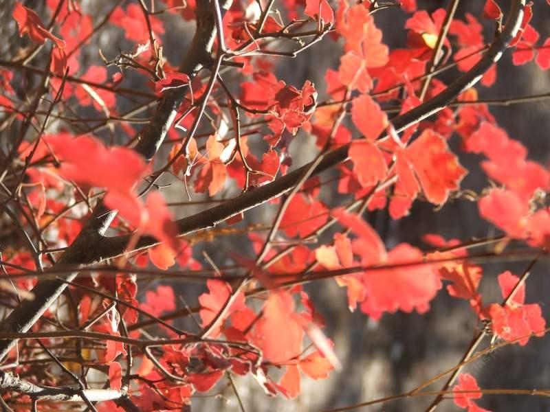 Rhus trilobata, Squaw Bush Sumac with the fall color of red. - grid24_24