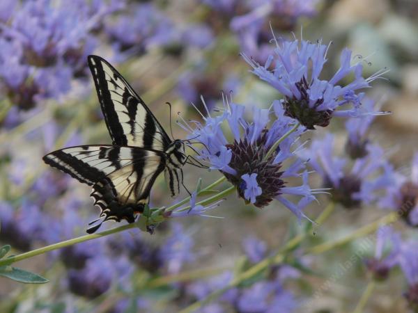 Plantes étonnantes (ou belles ou intéressantes ou marrantes ou ce que vous voulez) - Page 2 Salvia-clevelandii-alpine-cleveland-sage-butterfly