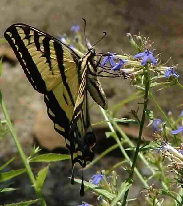 Western Tiger Swallowtail Erfly Papilio Rutulus On Lobelia Grid24 6