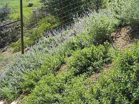 San luis obispo native garden for Hillside landscaping plants