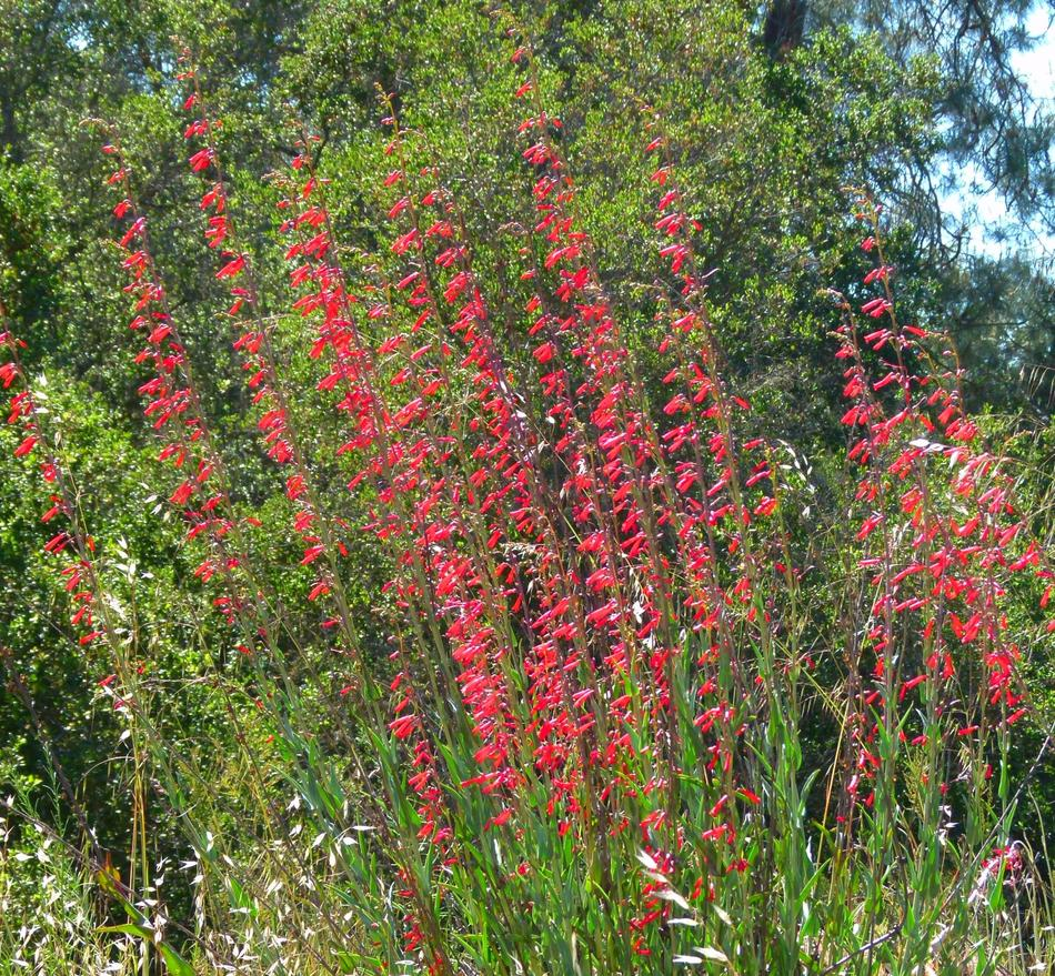 Plants Native To Hawaii: Here Are Some Popular And Easy Native Plants For San Diego