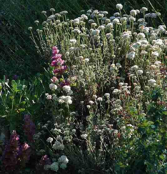 Drought tolerant or resistant plants