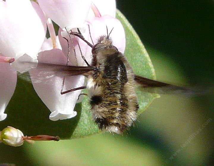 California Native Bees Flies Beeflies Wasps And Bumblebees