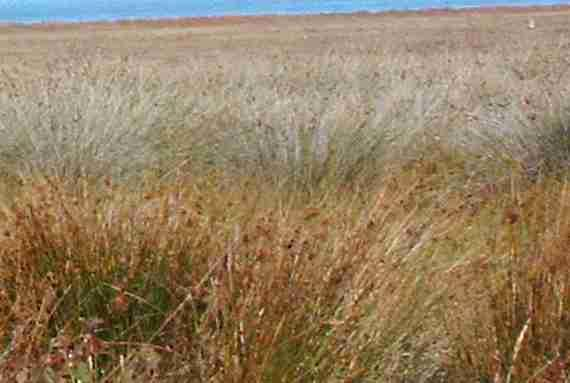 California's Coastal Salt marsh community