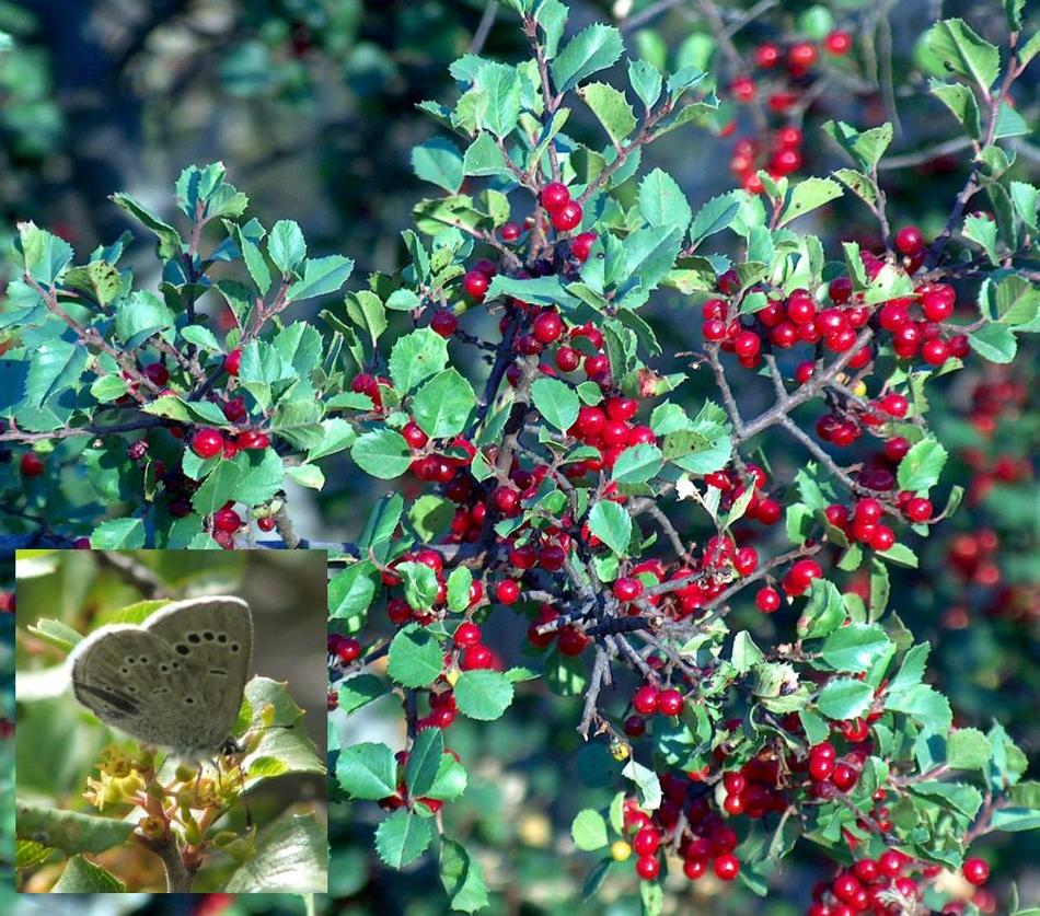 Which Plant Was Native To The New World: Rhamnus Crocea Ilicifolia, Hollyleaf Redberry