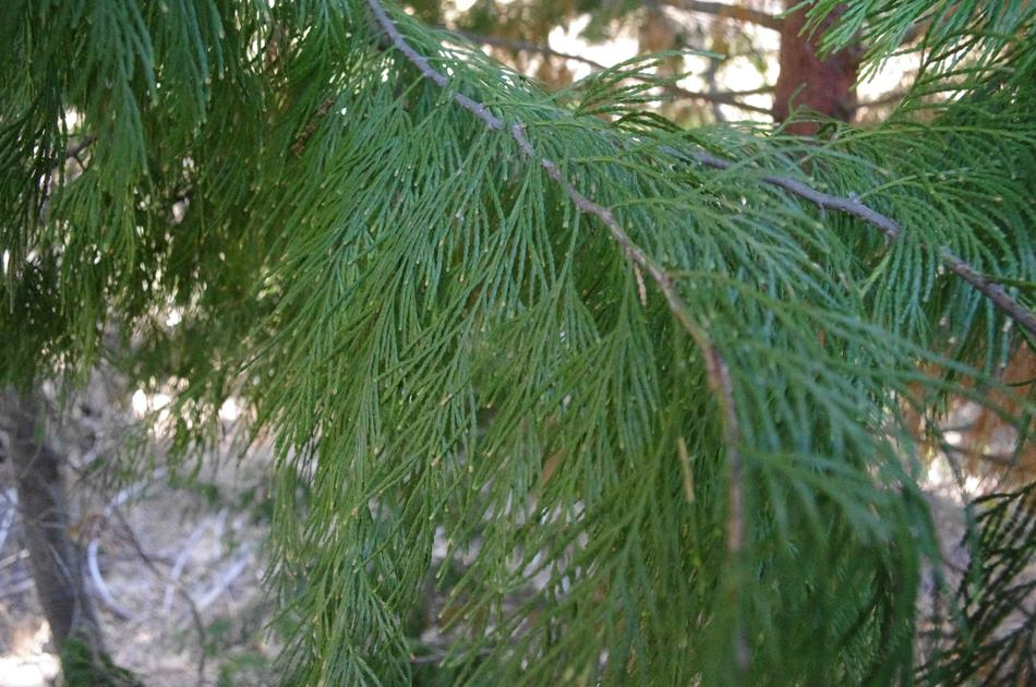 Picture of Live Incense Cedar aka Calocedrus decurrens Plant Fit 1 Gallon Pot
