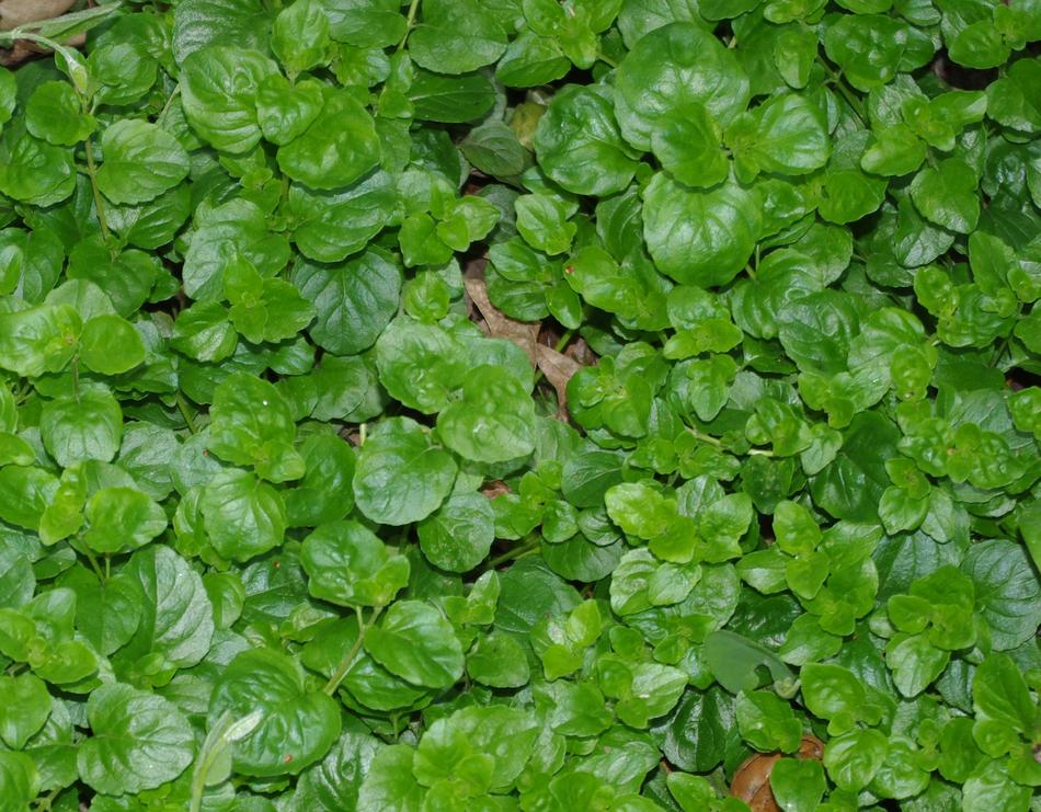 Yerba Buena Satureja Douglasii Is A Beautiful Flat Green Ground Cover That Smells Good And