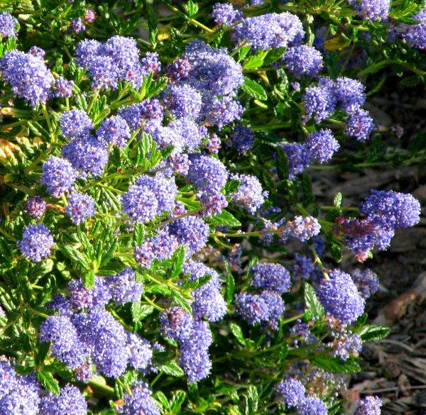 ceanothus wheeler canyon blue mtn lilac. Black Bedroom Furniture Sets. Home Design Ideas
