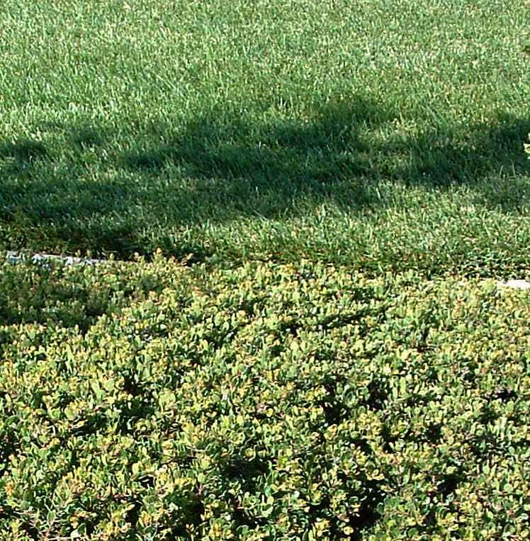 Arctostaphylos Emerald Carpet, might as well be a lawn ...