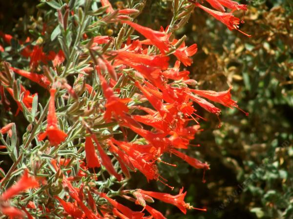 Zauschneria Californica Bert S Bluff Was Native On A Coastal But Does Very Well Inland And