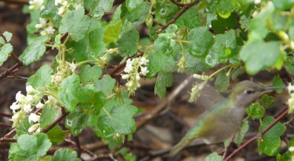 Ribes indecorum white flowering currant anna hummingbird working the flowers of white chaparral currant mightylinksfo