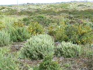 Artemisia Californica Artemisia californica