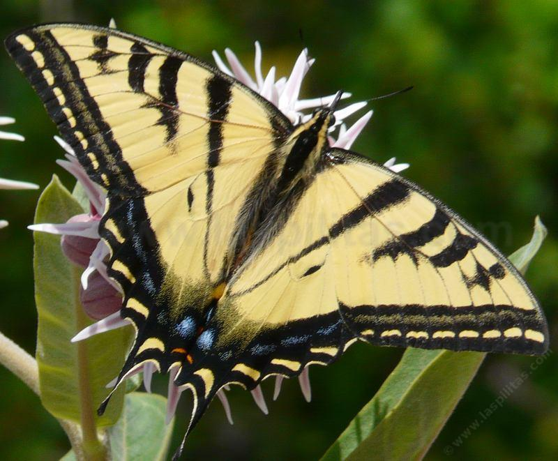 The Pale Swallowtail, Papilio eurymedon or Western Tiger Swallowtail, Papillo rutulus, only his mother knows - grid24_24