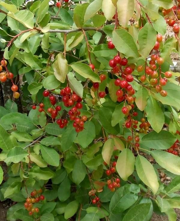 The Gallery For Gt Prunus Virginiana