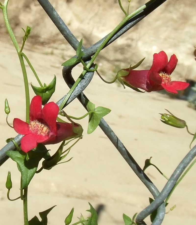 maurandya desert snapdragon on a chain link fence grid246 - Vining Flowers