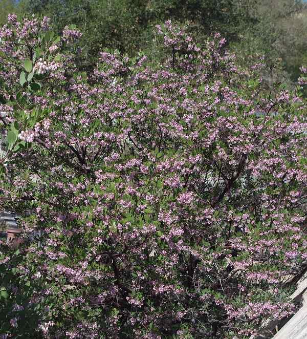Drought tolerant hedges wind breaks and screens with california baby bear manzanita bush is covered with pink flowers the hummingbirds and native insects like mightylinksfo