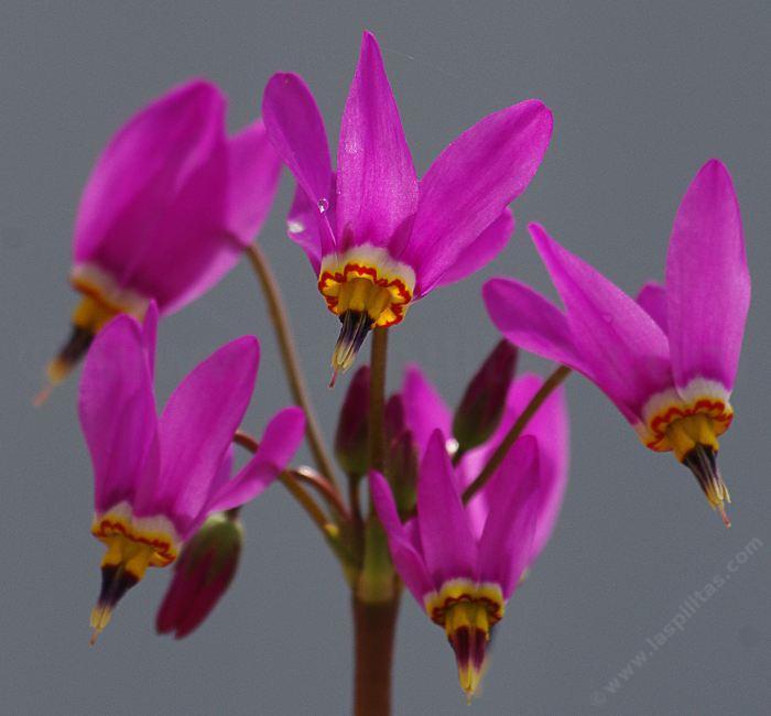 dodecatheon hendersonii flowers. Dodecatheon hendersonii flowers, Broad leafed shooting star ...