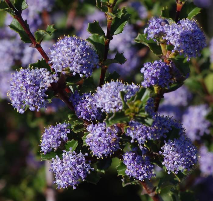 California lilac ceanothus for Purple flower shrub california
