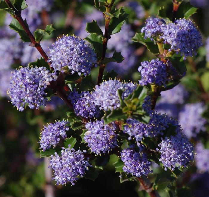 California lilac ceanothus ceanothus blue jeans flowers grid2412 mightylinksfo