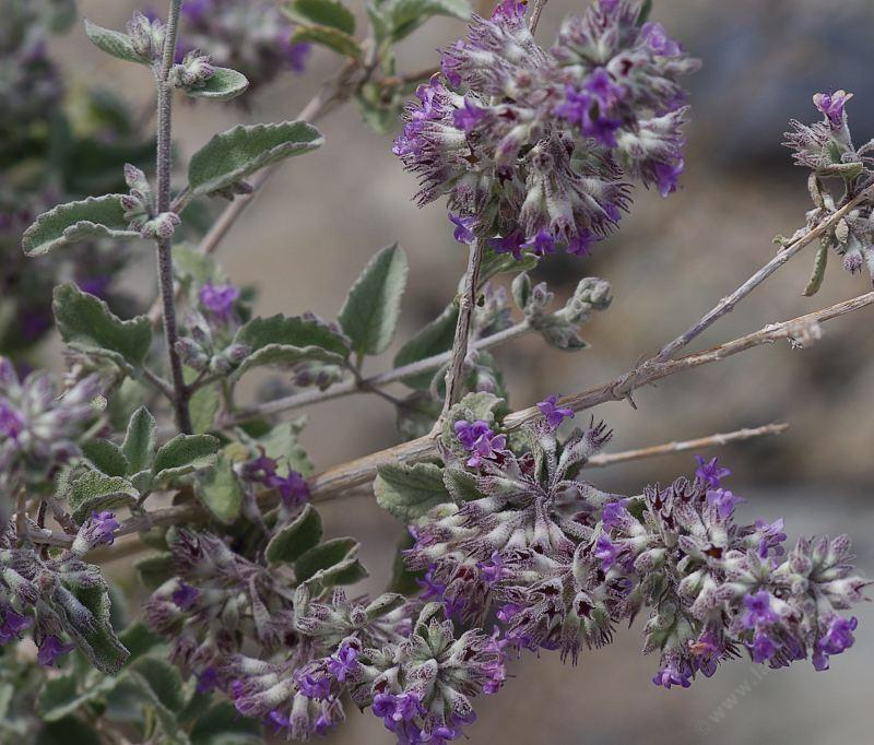 Hyptis Emoryi Desert Lavender