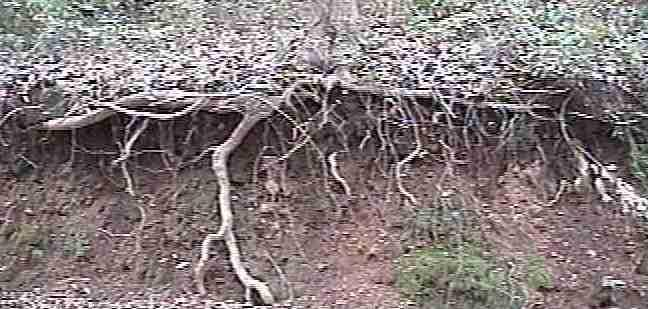 The Horizontal Roots Of An Oak Tree Pick Up Surface Moisture And Support Mycorrihiza