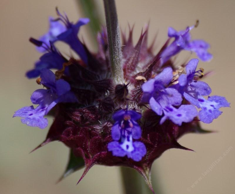 Sages, Salvias, photos, videos and descriptions of the plants native