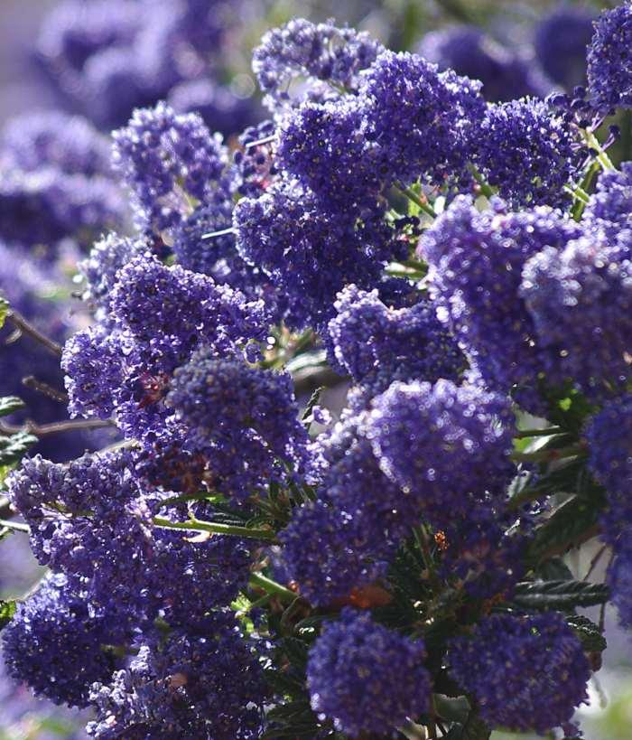 Ceanothus Concha Has Many Colors Shades And Tones Some Years The Plants Are