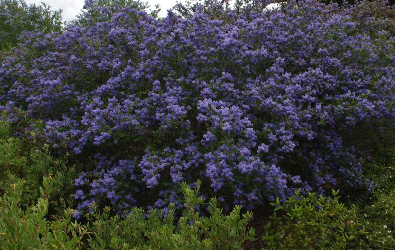 Ceanothus frosty blue frosty blue mountain blue for No maintenance flowering shrubs