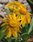 Orange sneezeweed, Owlclaws has a rather weird flower.