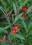 Red monkey flower in shade in San Francisco.  Overwatered  and in to much shade, but it's still alive!