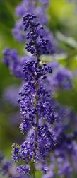 or maybe Ceanothus  indigo blue? Grape soda Ceanothus?